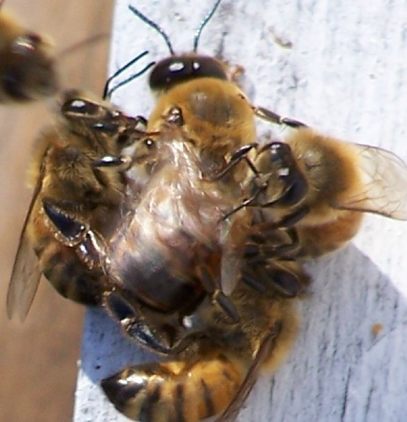 Strictly Speaking The Bees Will Not Kill Drones They Drag Them Kicking And Buzzing From Hive Drop A Distance Away